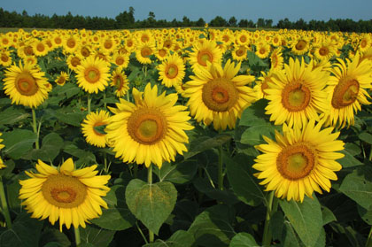 Sunflower Field  | Thoroughbred Country