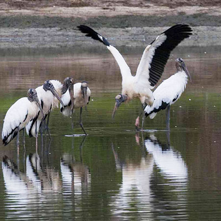 Wood Storks at Silver Bluff3   Thoroughbred Country