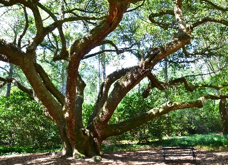 Live Oak at Hopelands Garden, Aiken  | Thoroughbred Country